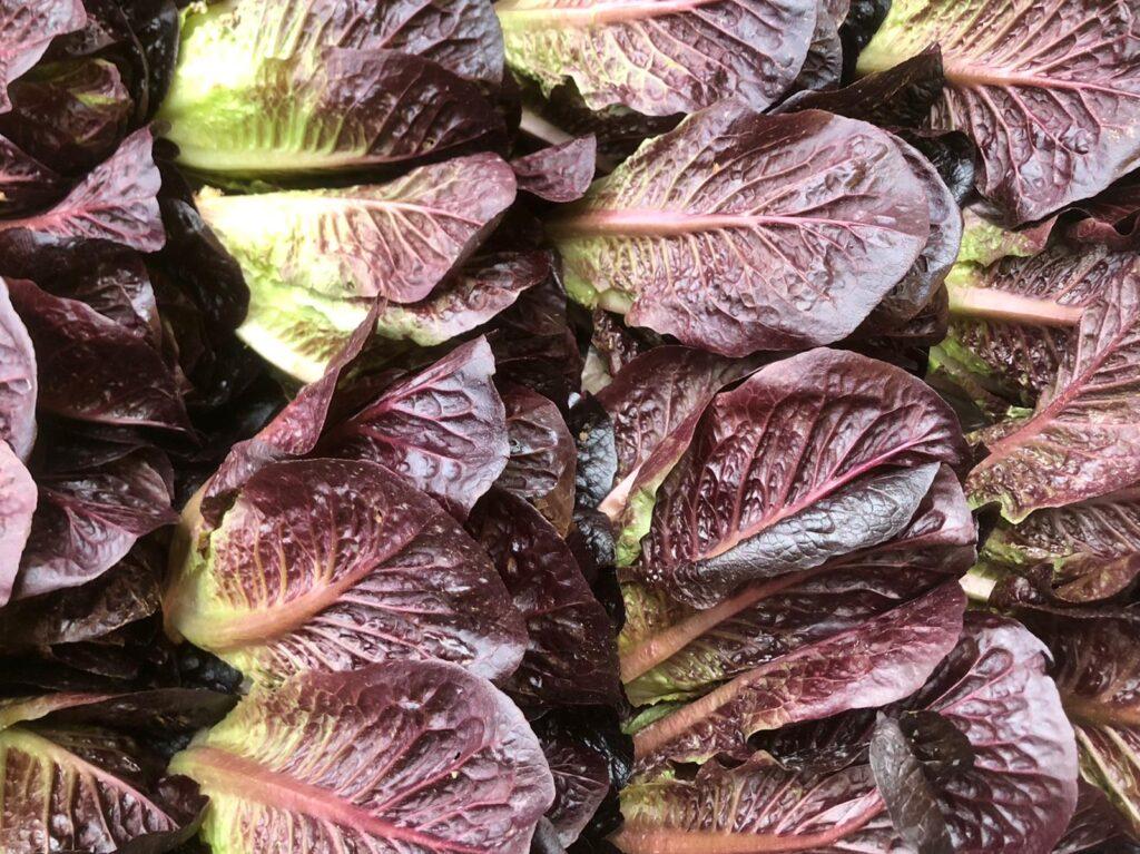Lettuce Little Gem Red